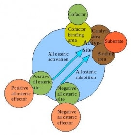 Online quiz Allosteric Effects