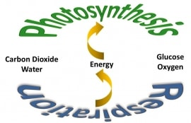Online quiz Photosynthesis and Respiration
