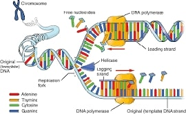 Online quiz DNA Structure and Replication
